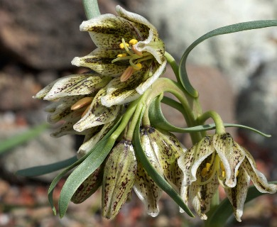 Fritillaria purdyi