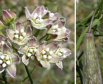 Funastrum cynanchoides