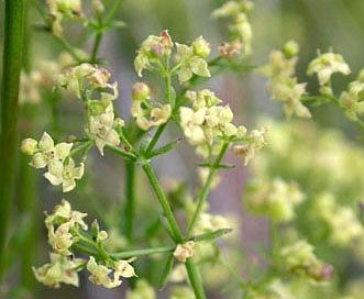 Galium angustifolium