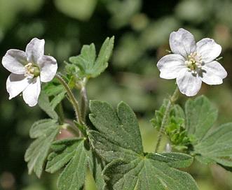 Geranium potentilloides