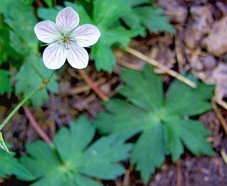 Geranium richardsonii