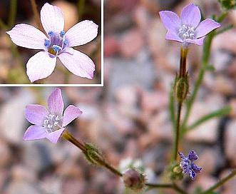 Gilia scopulorum