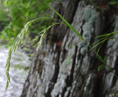 Graphephorum melicoides