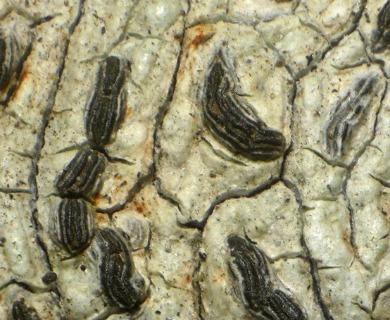 Graphis elegans
