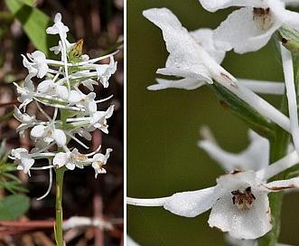Gymnadeniopsis nivea