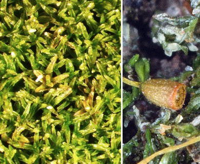 Gymnostomum aeruginosum