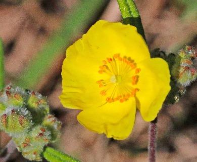 Helianthemum corymbosum
