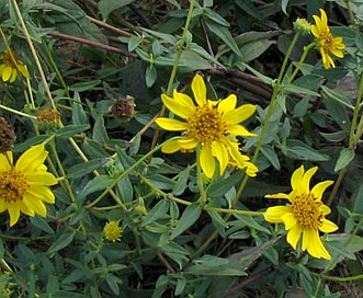 Helianthus gracilentus