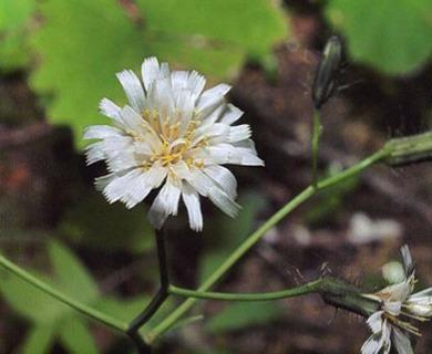 Hieracium albiflorum