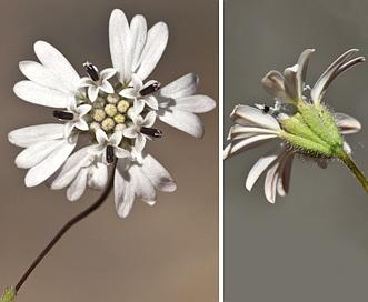 Holozonia filipes