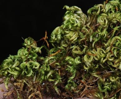 Homalothecium nevadense