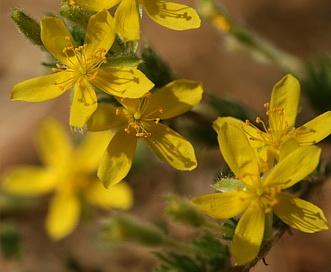 Hudsonia ericoides