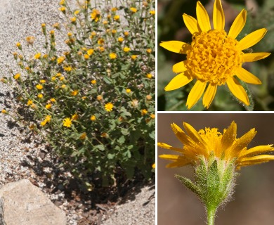 Hulsea brevifolia