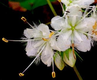 Hydrophyllum canadense