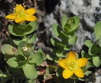 Hypericum anagalloides