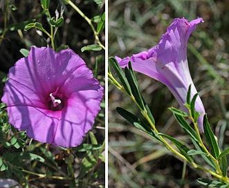 Ipomoea leptophylla