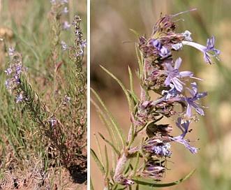 Ipomopsis multiflora