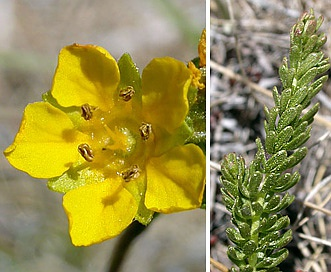 Ivesia lycopodioides