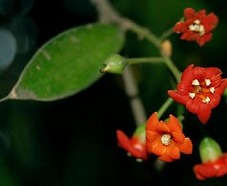 Jacquinia macrocarpa