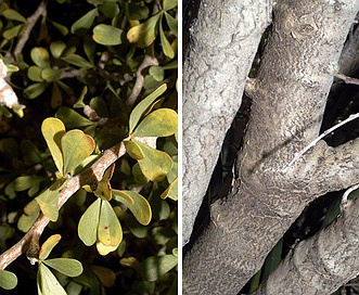 Jatropha cuneata