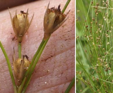 Juncus anthelatus