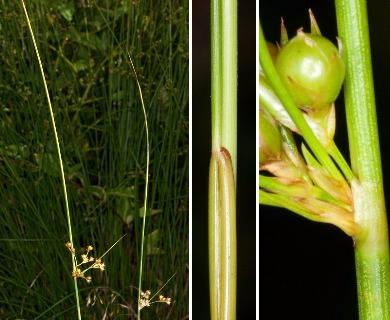 Juncus coriaceus