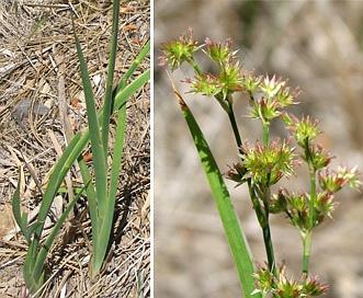 Juncus xiphioides