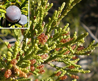 Juniperus ashei