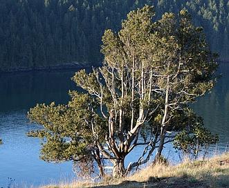 Juniperus maritima