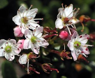 Kalmia buxifolia