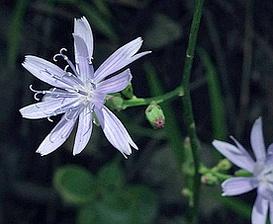 Lactuca floridana