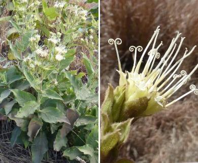 Lagascea helianthifolia