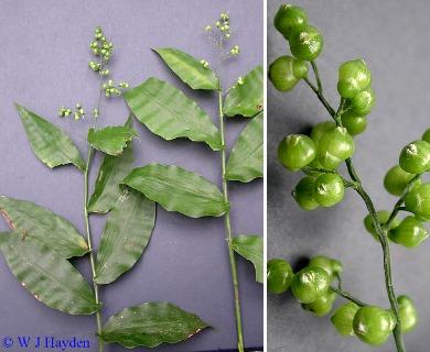 Lasiacis ruscifolia