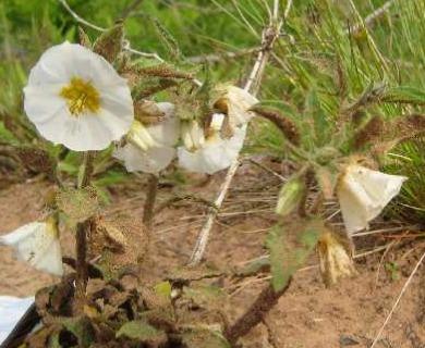 Leucophysalis grandiflora