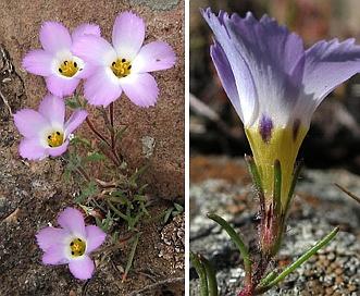 Linanthus dianthiflorus