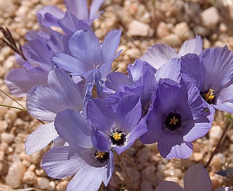 Linanthus parryae