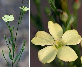 Linum virginianum