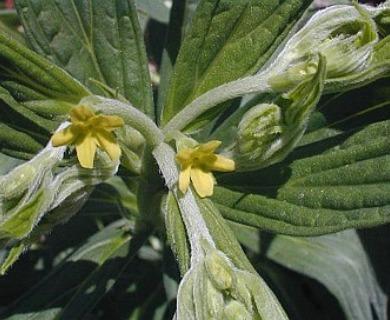 Lithospermum latifolium