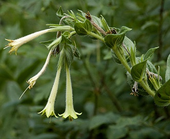Lithospermum macromeria
