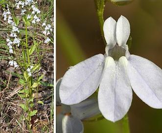 Lobelia appendiculata