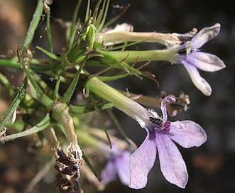 Lobelia dunnii