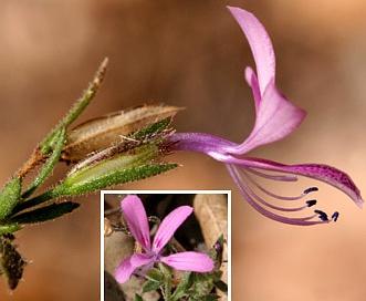 Loeselia glandulosa