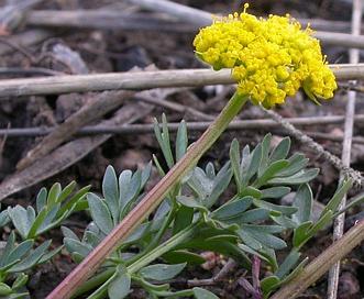 Lomatium cous