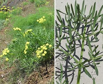 Lomatium suksdorfii