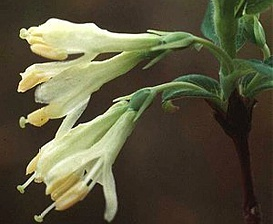 Lonicera oblongifolia