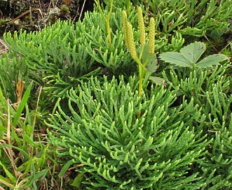 Lycopodium tristachyum