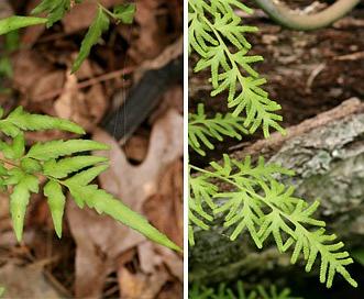 Lygodium japonicum