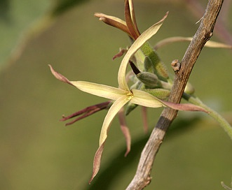 Lyrocarpa coulteri