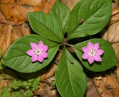Lysimachia latifolia