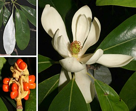 Magnolia virginiana